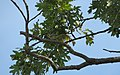 Yellow-throated Warbler migrating (29723502295).jpg