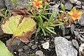 Yellow Mountain Saxifrage - Saxifraga aizoides (43591053904).jpg