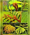 Yellow flame tree leaves collage.jpg