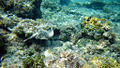 Yellow stingray grand cayman.jpg
