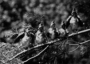 Young Blue Jays NGM-v31-p303.jpg