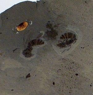 2006 in paleontology - Ypresiomyrma rebekkae