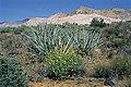 Yucca baccata subsp. vespertina fh 1183.4 UT B.jpg