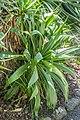 Yucca flaccida in Christchurch Botanic Gardens 01.jpg