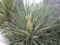 Yucca schidigera 1c.JPG