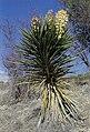 Yucca torreyi fh 1180.18 TX BB.jpg