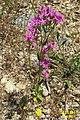 Zakynthos flora (35730629382).jpg