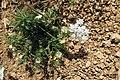 Zakynthos flora (35913363065).jpg