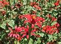 Zinnia peruviana kz01.jpg