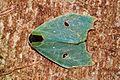 """Dog head"" moth Rosema sp. (9492675928).jpg"