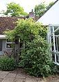"""'Fuchsia magellanica' """"Moliniae"""" and climber Gibberd Garden Essex England.JPG"""