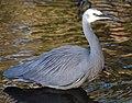 (1)Heron Hunting 111.jpg