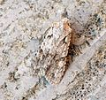 (2237) Grey Shoulder-knot (Lithophane ornitopus) - Flickr - Bennyboymothman (2).jpg
