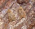 (2264) Yellow-line Quaker (Agrochola macilenta) (37800336532).jpg