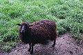 Écomusée Bintinais - Moutons d'Ouessant 01.jpg