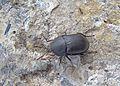 Аблаттария сглаженная (Мертвоедмоллюскоед) - Ablattaria laevigata - Smooth Carrion-beetle - Stark gefährdeter Käfer (Mattschwarzer Schneckenjäger ) (25293431794).jpg