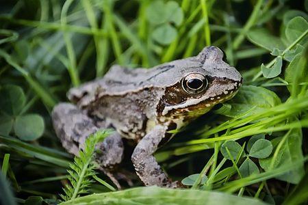The agile frog (Rana dalmatina)