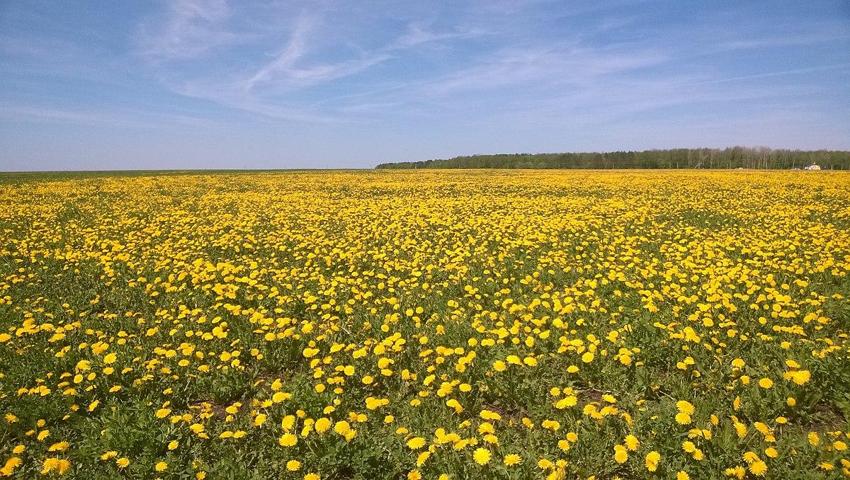 Желтое море. Чистопольский р-н. РТ. Май 2014 - panoramio.jpg