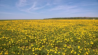 Taraxacum - Field with flowering dandelions. Tatarstan, Russia