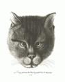 Кот в собрании Ровинского из его книги.png