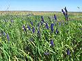 """Метелики синявці на суцвіттях шавлії лучної. Ландшафтний заказник """"Отченашкові наділи"""".jpg"""