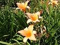 Нікітінський ботанічний сад, квіти10.jpg