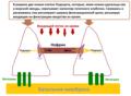 Подоцин белок.png