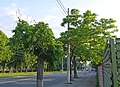 Три Горіха Зібольда біля будинку №136 по вул. Пирогова P1390910.jpg