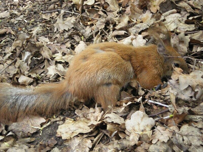 File:Харьковская белка 2. Маскировка в листьях.jpg