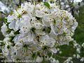 شکوفه های بهاری شهر خامنه - panoramio (7).jpg