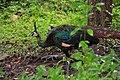 นกยูง แก่งลานนกยูง - panoramio.jpg