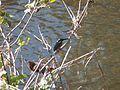 カワセミ (翡翠) (Common Kingfisher) (Alcedo atthis) (22744254564).jpg