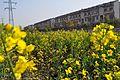三环路旁的油菜花 - panoramio.jpg