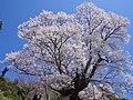 仏隆寺の「千年桜」 宇陀市榛原赤埴 Sen-nen-zakura 2013.4.13 - panoramio (1).jpg