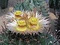 仙人掌-巨鷲玉 Ferocactus horridus -深圳仙湖植物園 Fairy Lake Botanical Garden, China- (9255178354).jpg