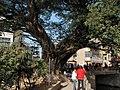 大榕树下好乘凉 - panoramio.jpg