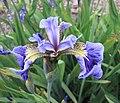 山鳶尾 Iris setosa -比利時 Ghent University Botanical Garden, Belgium- (9200911388).jpg