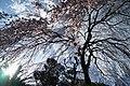 市川家のしだれ桜 - panoramio.jpg