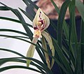春蘭星蝶 Cymbidium goeringii 'Star Butterfly' -香港花展 Hong Kong Flower Show- (13219313933).jpg