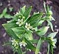 田紫草 Lithospermum arvense -比利時 Leuven Botanical Garden, Belgium- (9237376223).jpg