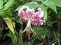 美麗百合(鹿子百合) Lilium speciosum -日本鹿兒島仙巖園 Kagoshima Sengan-en Garden, Japan- (34992972974).jpg