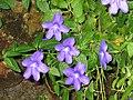 美麗紫水晶 Browallia speciosa -香港公園 Hong Kong Park- (9198171589).jpg