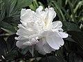 芍藥-奇花露霜 Paeonia lactiflora -上海植物園 Shanghai Botanical Garden- (12380585914).jpg