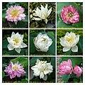 蓮花 Nelumbo nucifera cultivars 1 -澳門龍環葡韻 Macau Lotus Show, China- (12338315825).jpg