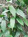 跳舞女郎 Thunbergia mysorensis 20200311175153.jpg