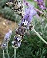針葉薰衣草 Lavandula angustifolia Vera -台灣清境農場 Cingjing Farm, Taiwan- (15506374688).jpg