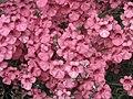 雙距花屬 Diascia vigilis -牛津大學植物園 Oxford Botanic Garden- (9200882580).jpg