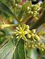 鱷梨(牛油果) Persea americana -香港花展 Hong Kong Flower Show- (45773285394).jpg