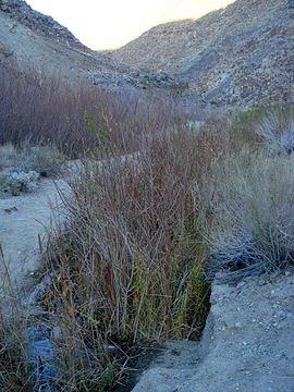 The growing creek begins to host reeds and other riparian vegetation.