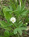 0106-Potentilla alba-B. Karp.-5.04.jpg
